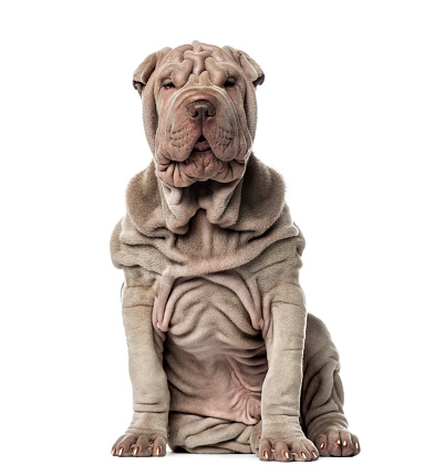 Sensuality「Puppy Shar Pei sitting, 10 weeks old, isolated on white」:スマホ壁紙(5)