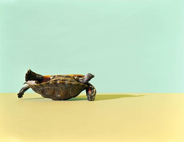 Western Painted Turtle (Chrysemys picta bellii) lying on back:スマホ壁紙(壁紙.com)