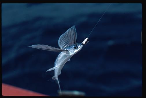 1980-1989「Hooked Flying Fish, Barbados」:スマホ壁紙(8)