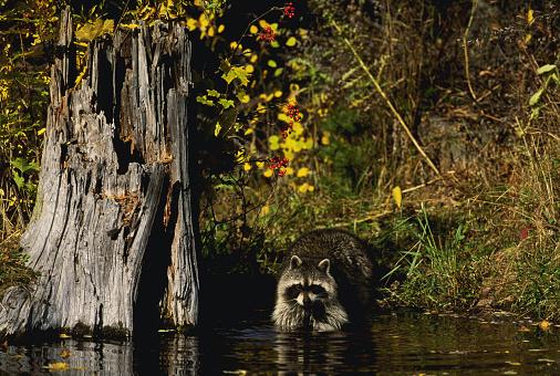 Raccoon「Raccoons」:スマホ壁紙(19)