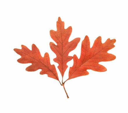 Oak Leaf「Oak Leaf Cluster」:スマホ壁紙(7)