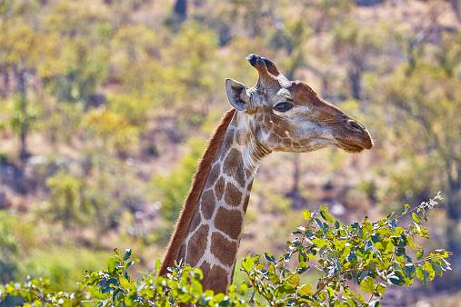 Giraffe「Giraffe head and neck in top of bushes」:スマホ壁紙(7)