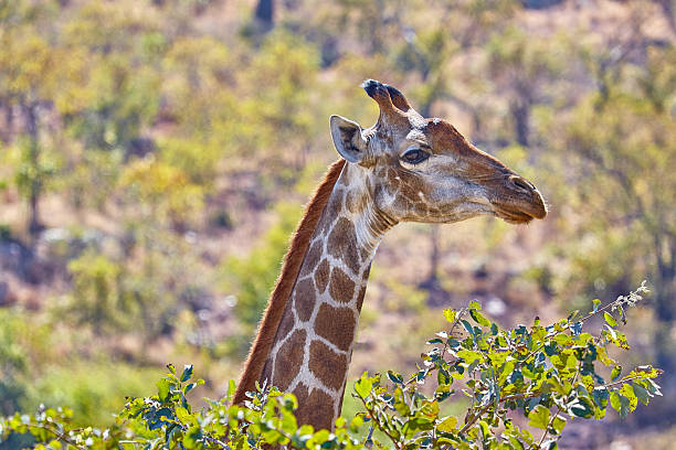 Giraffe head and neck in top of bushes:スマホ壁紙(壁紙.com)