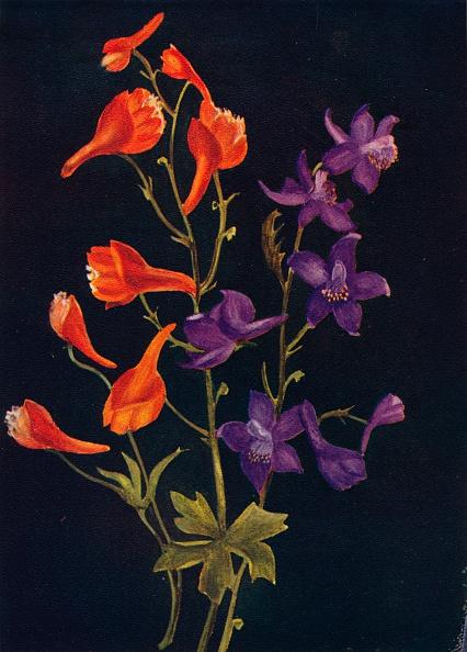 静物「Scarlet and Blue Larkspur,  c1915, (1915)」:写真・画像(19)[壁紙.com]
