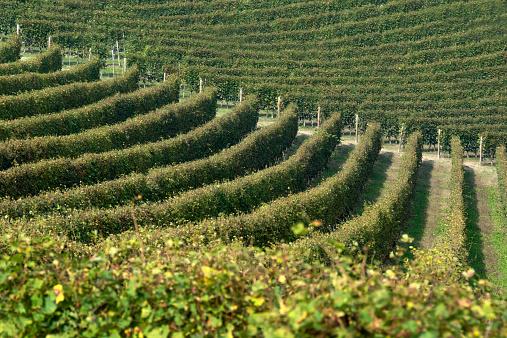 Piedmont - Italy「Nebbiolo Vineyard in langhe,Cuneo,Italy」:スマホ壁紙(12)
