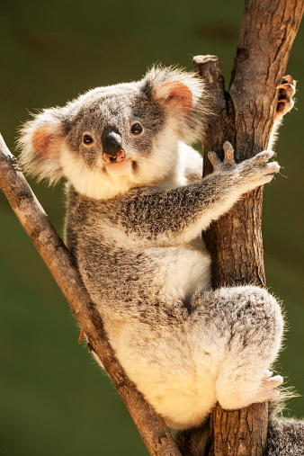 Koala「Koala in tree , Queensland, Australia」:スマホ壁紙(9)