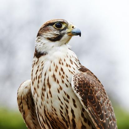 Hawk - Bird「Saker Falcon」:スマホ壁紙(0)