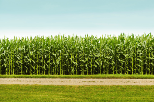 Crop - Plant「Healthy Corn Crop in Agricultural Field」:スマホ壁紙(6)