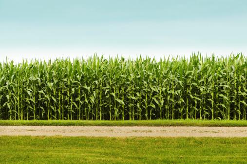 田畑「ヘルシーなトウモロコシクロップで農業フィールド」:スマホ壁紙(4)