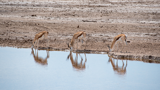 Antelope「Sprinböcke am Wasserloch」:スマホ壁紙(12)