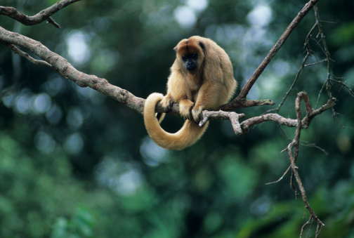 Animals In The Wild「Black and gold howler (Alouatta caraya) sitting on branch, South America」:スマホ壁紙(5)