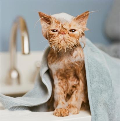 Purebred Cat「Orange Persian cat  under towel」:スマホ壁紙(5)