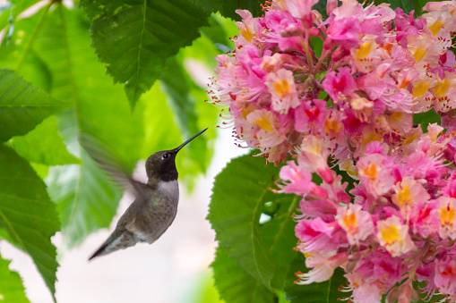 Beak「Male Black Chinned Hummingbird Sipping Nector From a Pink Chestnut Flower」:スマホ壁紙(4)