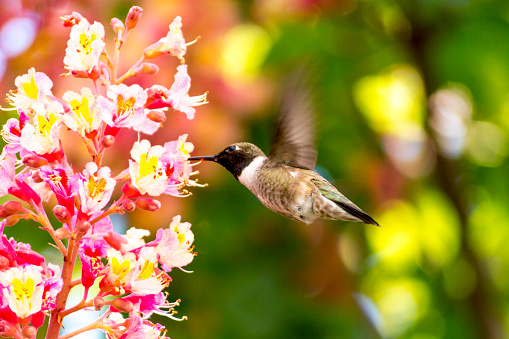 chestnut「Male Black Chinned Hummingbird Sipping Nector From a Pink Chestnut Flower」:スマホ壁紙(10)