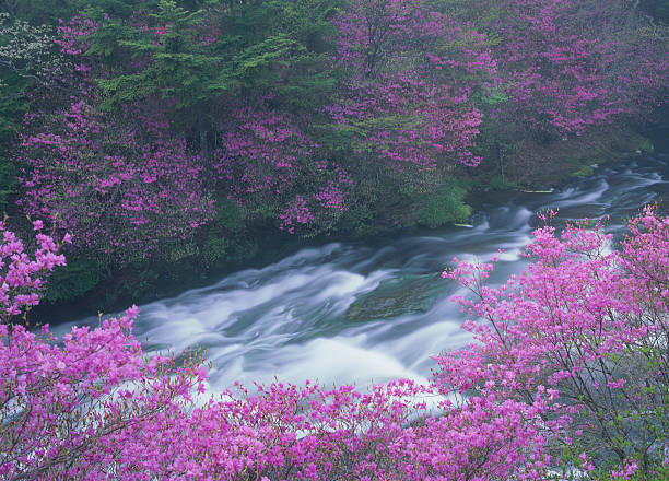 Rhododendron Wadanum and Mountain Stream:スマホ壁紙(壁紙.com)