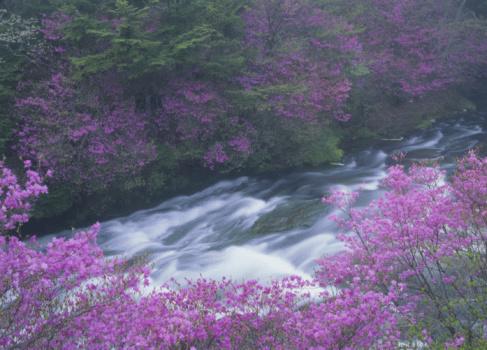 Nikko City「Rhododendron Wadanum and Mountain Stream」:スマホ壁紙(18)