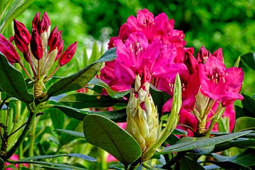 Keukenhof Gardens「Rhododendron flowers at Keukenhof Gardens, Holland」:スマホ壁紙(0)