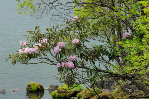 Nikko City「Rhododendron tree in bloom」:スマホ壁紙(13)