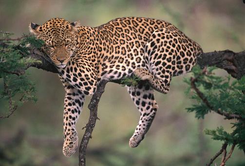 Big Cat「Leopard sleeping in tree」:スマホ壁紙(7)