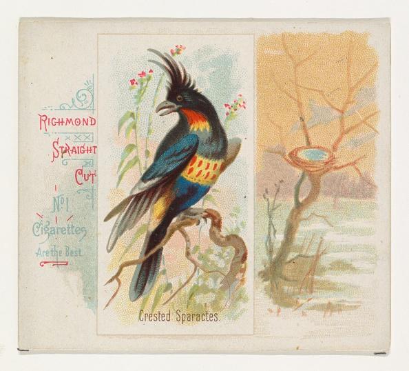 Songbird「Crested Sparactes」:写真・画像(4)[壁紙.com]