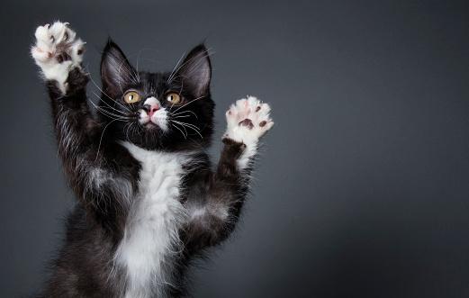 Pets「Cute Kitten Playing - The Amanda Collection」:スマホ壁紙(11)