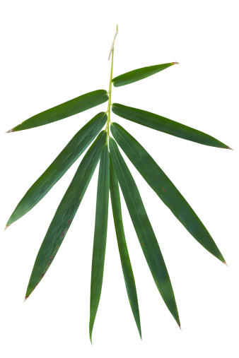 Branch - Plant Part「Bamboo leaf isolated on white with clipping path」:スマホ壁紙(2)