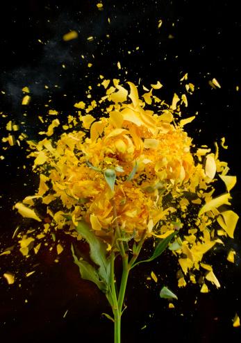 Destruction「Exploding Yellow Roses」:スマホ壁紙(8)