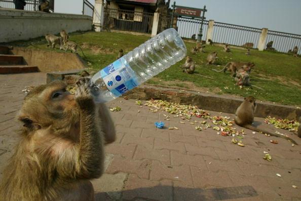 Monkey「Monkeys Of Lopburi, Thailand」:写真・画像(3)[壁紙.com]