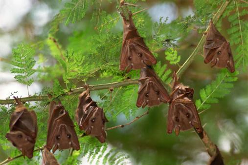 Bat - Animal「Fruit bats」:スマホ壁紙(15)