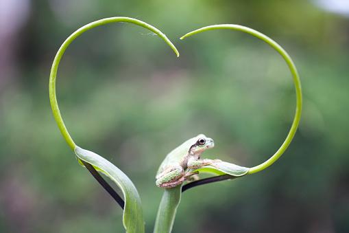 ハート「Frog on plant stem, Biei, Hokkaido, Japan」:スマホ壁紙(8)