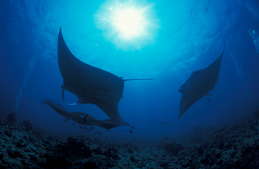 熱帯魚「Three giant oceanic manta rays in the South Ari Atoll, Maldives」:スマホ壁紙(13)