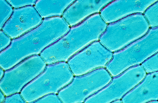 Biology「Onion Skin Cells」:スマホ壁紙(15)
