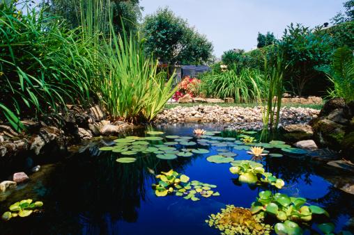 Water Lily「Pond and vegetation」:スマホ壁紙(11)