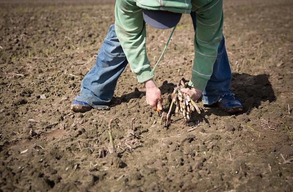 Asparagus「Asparagus Farming In Devon」:写真・画像(12)[壁紙.com]