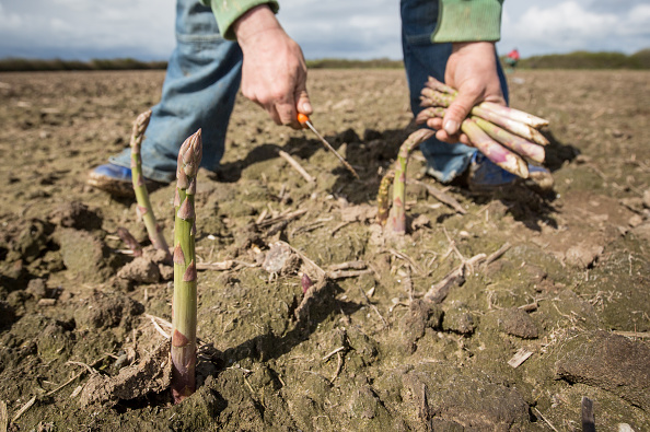Asparagus「Asparagus Farming In Devon」:写真・画像(13)[壁紙.com]