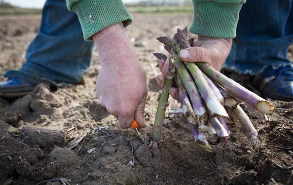 Asparagus「Asparagus Farming In Devon」:写真・画像(6)[壁紙.com]