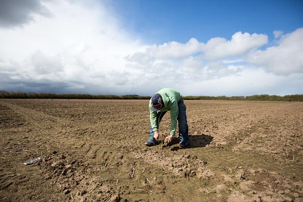 Asparagus「Asparagus Farming In Devon」:写真・画像(4)[壁紙.com]