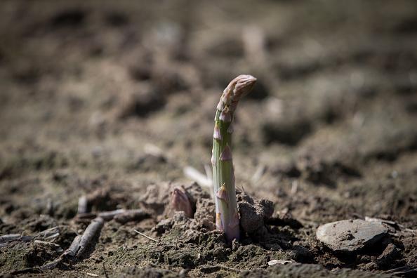 Asparagus「Asparagus Farming In Devon」:写真・画像(14)[壁紙.com]