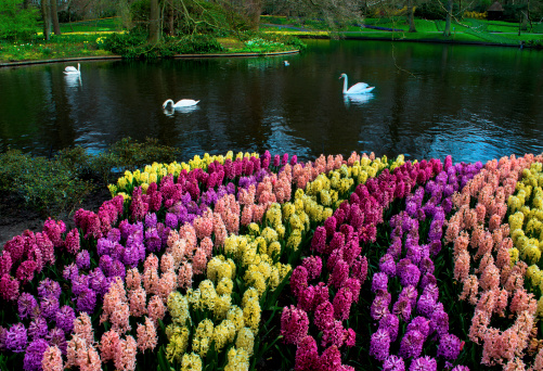 キューケンホフ公園「Colorful Hyacinths announce spring」:スマホ壁紙(19)