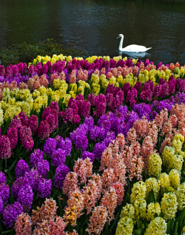 Keukenhof Gardens「Colorful Hyacinths announce spring」:スマホ壁紙(19)