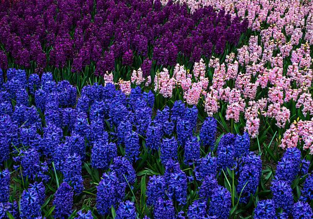 Colorful Hyacinth Flowers form interesting pattern:スマホ壁紙(壁紙.com)