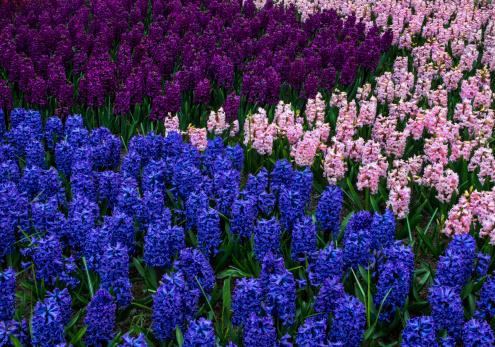 Keukenhof Gardens「Colorful Hyacinth Flowers form interesting pattern」:スマホ壁紙(15)
