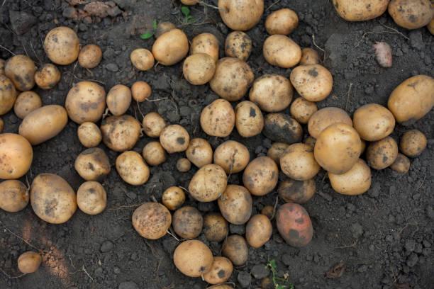 Potatoes on dirt:スマホ壁紙(壁紙.com)