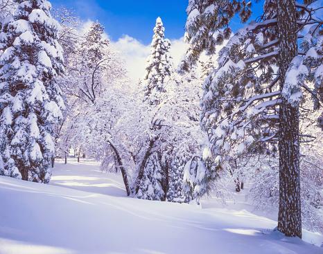 オーク林「冬には山の雪のカリフォルニアで松の木」:スマホ壁紙(12)