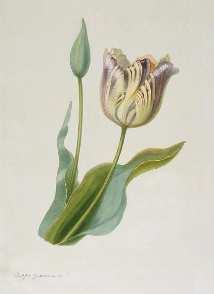 Bud「Tulipa」:写真・画像(7)[壁紙.com]