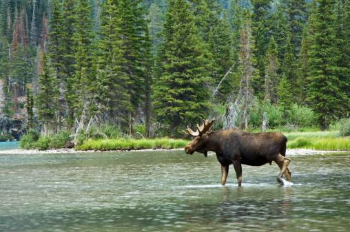Shallow「Moose (Alces alces), Montana, USA」:スマホ壁紙(12)