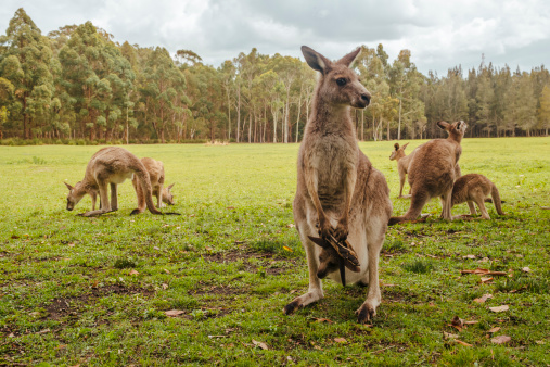 Kangaroo「Australia, New South Wales, kangoroos, some with joey (Macropus giganteus) on meadow」:スマホ壁紙(3)
