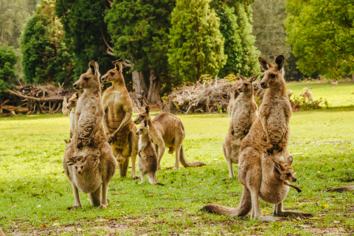 Kangaroo「Australia, New South Wales, kangoroos, some with joey (Macropus giganteus) on meadow」:スマホ壁紙(7)