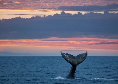 クジラ「コククジラの尾の夕暮れ」:スマホ壁紙(17)
