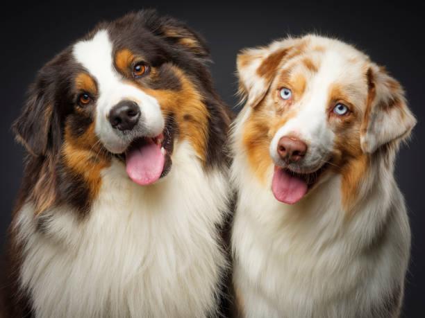 Two Purebred Australian Shepherd Dogs:スマホ壁紙(壁紙.com)